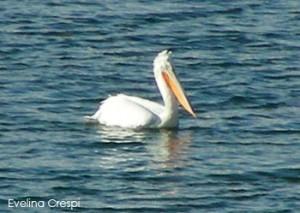 Pelicanus Crispus
