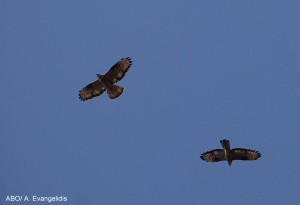 Honey Buzzards