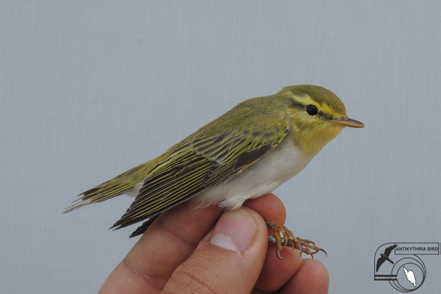 Wood Warbler (Phylloscopus sibilatrix, Δασοφυλλοσκόπος)