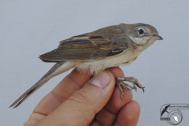 Common Whitethroat (Sylvia communis, Θαμνοτσιροβάκος)