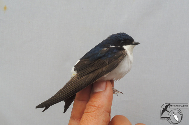 Common House Martins (Delichon urbicum, Λευκοχελίδονο)