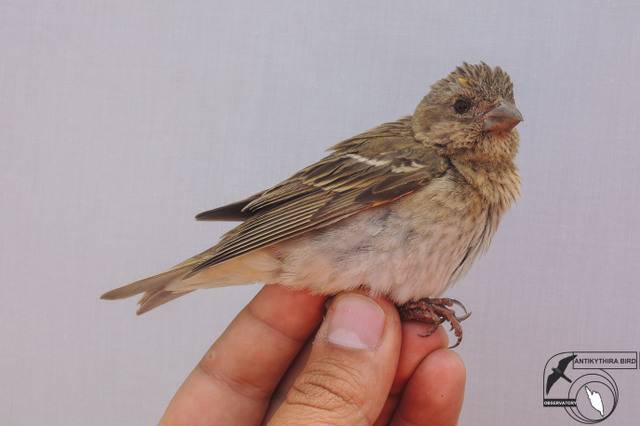 Common Rosefinch (Carpodacus erythrinus, Ροδόσπιζα)