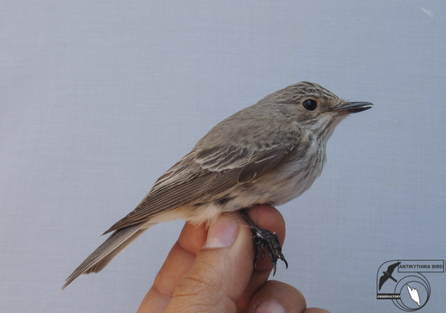 Spotted Flycatcher (Muscicapa striata, Σταχτομυγοχάφτης)