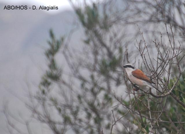 A Red-backed Shrike (Lanius collurio, Αετομάχος)