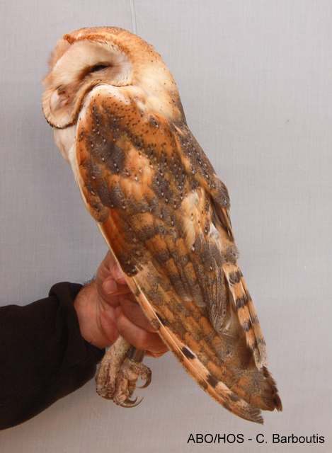 A ringed Barn Owl (Tyto alba, Τυτώ) just before releasing .