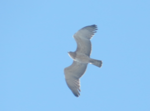 A Short-toed Snake Eagle  -ph C. Christodolu- Davies