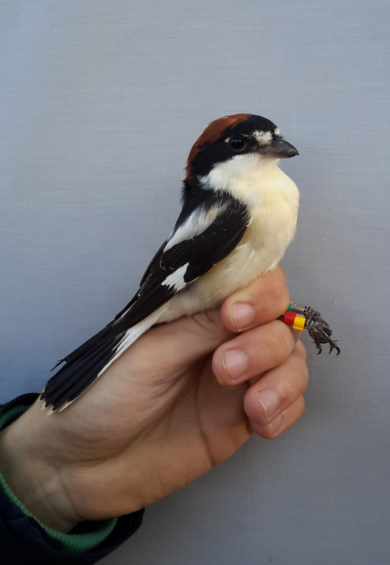Colour marked Woodchat Shrike (Lanius senator, Κοκκινοκεφαλάς)