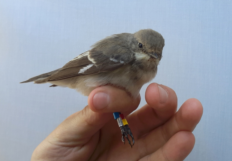 A Semicollared Flycatcher with colour rings