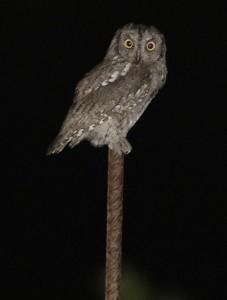 _07A6420_scops_owl_web