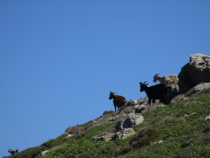 Goats on the lee side of the hill of Lidi, to find relief from the wind.