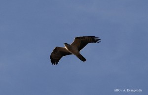 Honey Buzzard pale juv